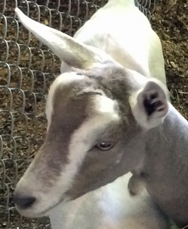 Goat with normal large ears.