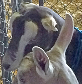 "Lamancha goat with ""elf"" ears (back) and goat with normal ears (front)."